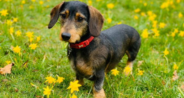 Sausage dog surrounded by flowers