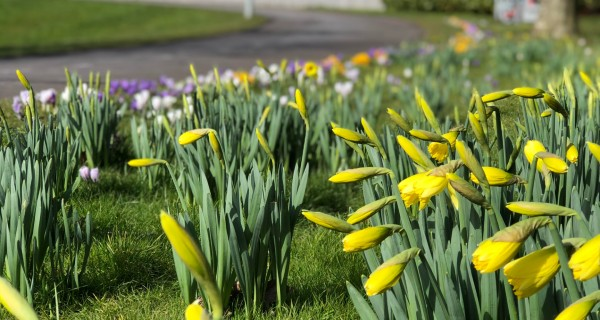 Snowdrops and daffodils in bloom